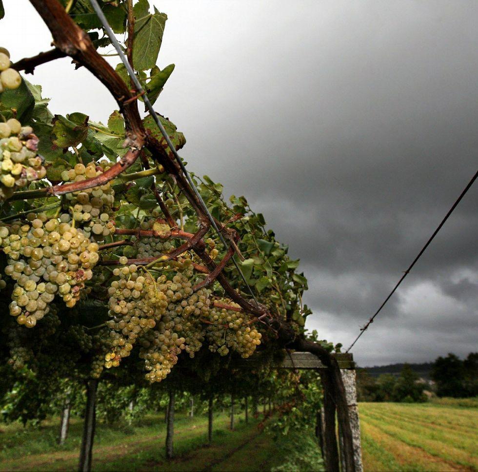 El 56 % de las plantaciones de viñedo amparadas por Rías Baixas se ubican en O Salnés.