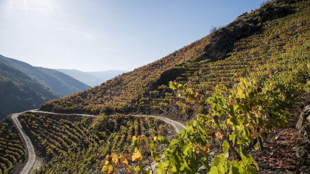 Terrazas vitícolas sobre las laderas del cañón del Sil en Sober