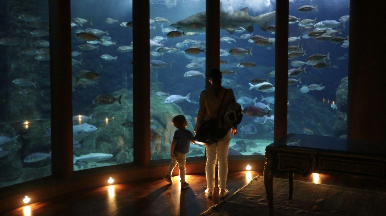 La Casa de los Peces inicia su «nueva normalidad».Uno de los bebés pulpo que pueden verse en el Aquarium Finisterrae, en A Coruña