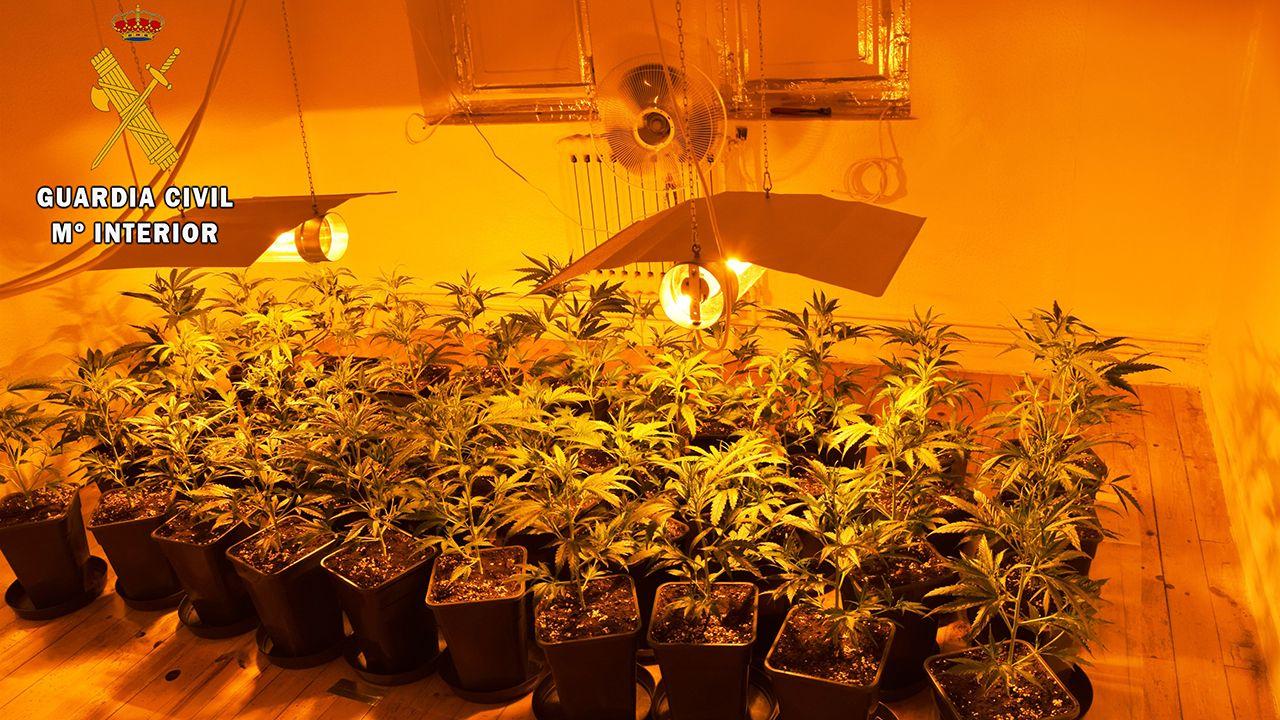 Plantación de marihuana en Las Regueras