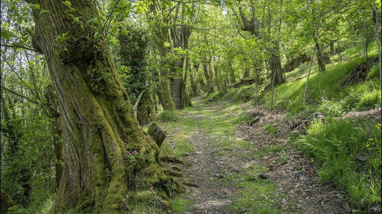 El camino que lleva al castro atraviesa un bosque de castaños