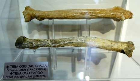 Huesos de oso cavernario y oso pardo en el museo quirogués