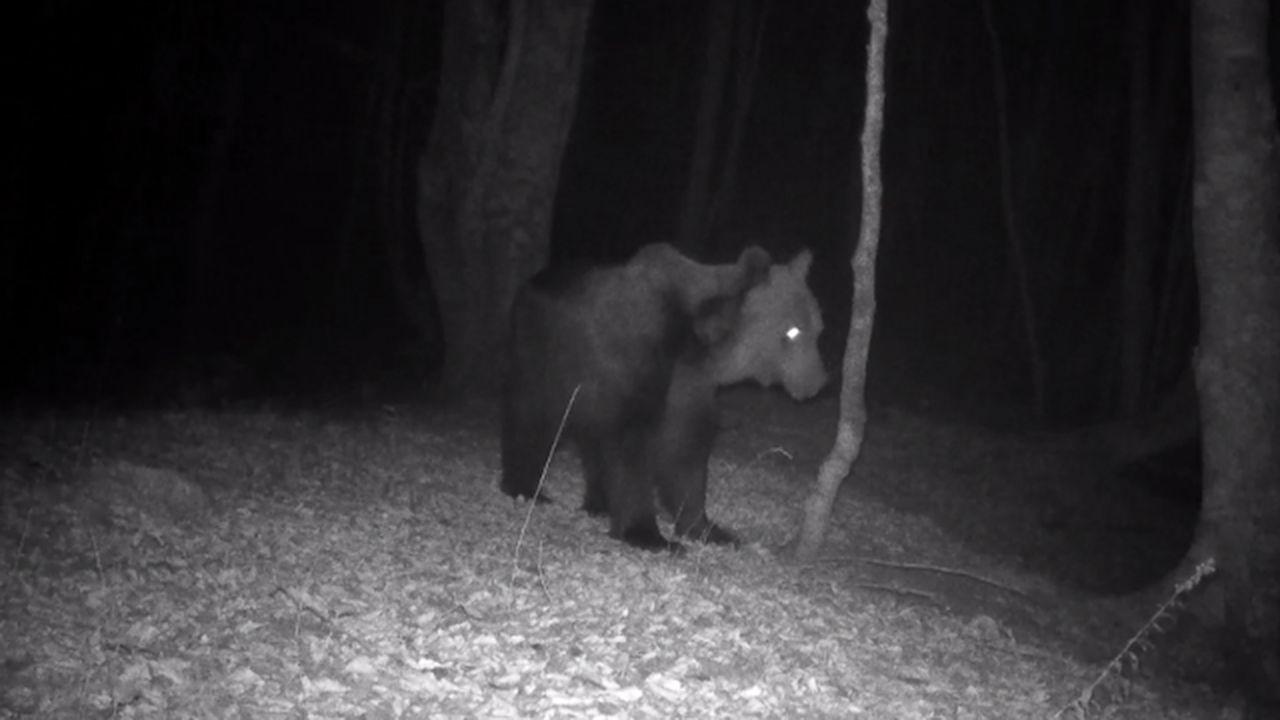 El FAPAS explica las diferencias entre un oso y un jabalí