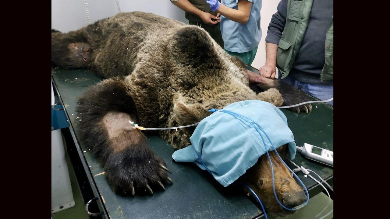 El oso rescatado en León no puede mover sus extremidades.Un persona en una silla de ruedas