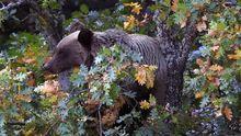 Un oso pardo aparece entre unos árboles