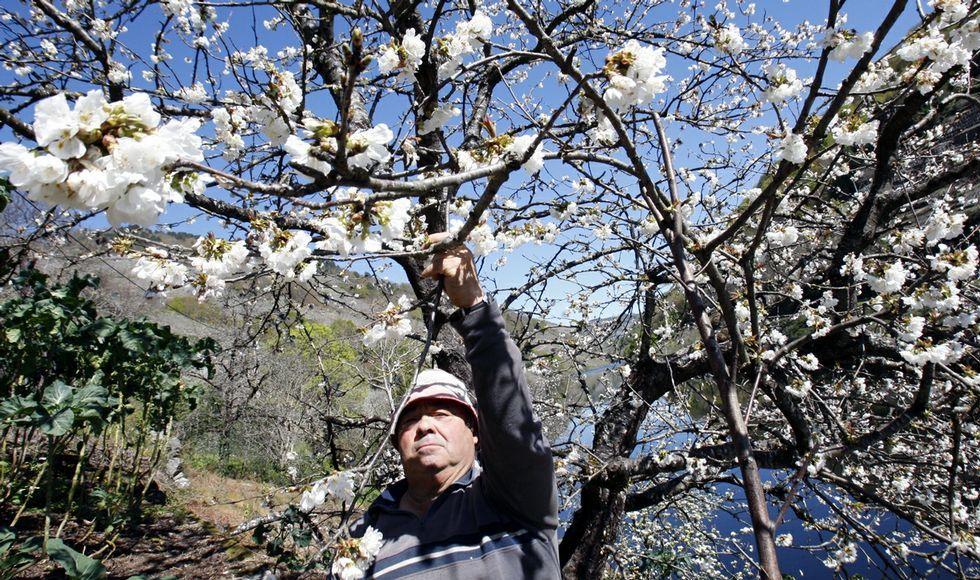 Uno de los cerezos «japoneses» de Belesar con sus flores, en el lugar conocido por Peizás.