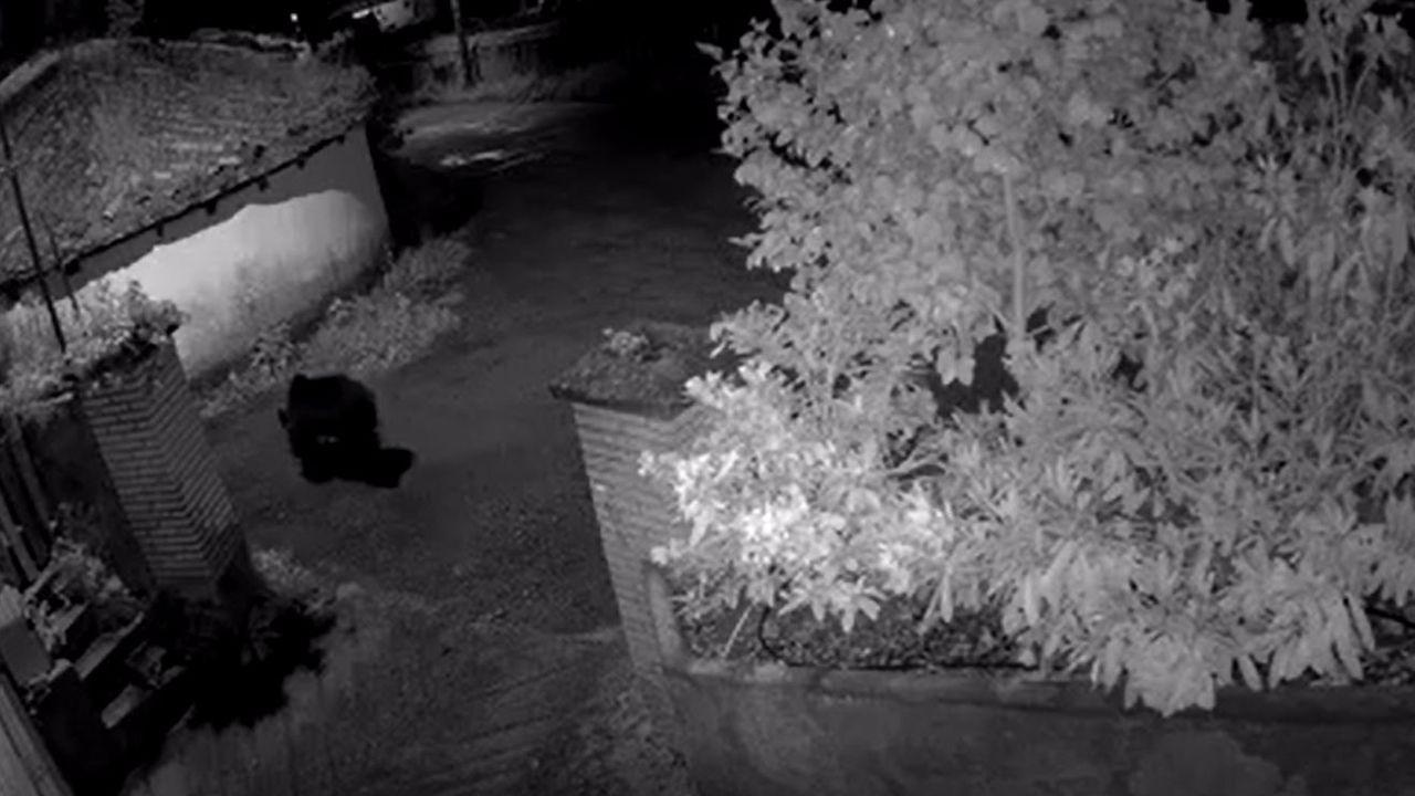 Un oso se pasea en la noche de Bimea.Un oso con una herida en una oreja tras una pelea con otro plantígrado