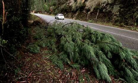 Un pino caído por la fuerza del veinto y el agua junto a la carretera entre A Cañiza y Crecente.