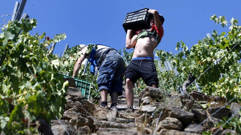 Vendimia en una viña en bancales en Carballocovo, en la ribera de Doade