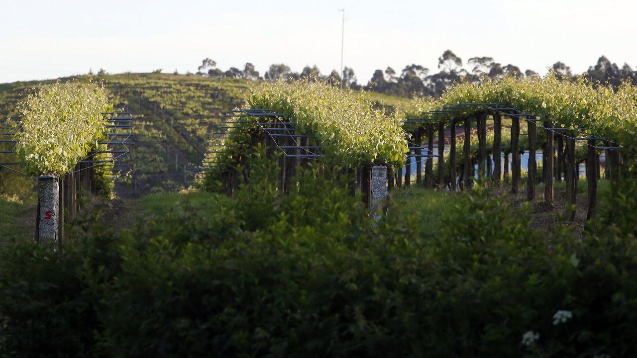 Empieza la recogida de la patata de A Limia.Cazadores del coto de Bagude, Portomarín, buscan con perros el rastro del jabalí en una imagen de archivo