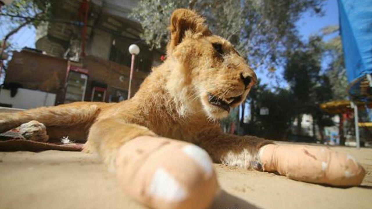 Salvaje retirada de las garras de una joven leona en Gaza