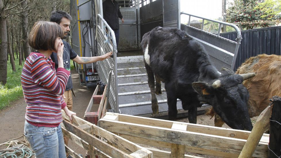 Llegada de las vacas al santuario animal de Santiago.