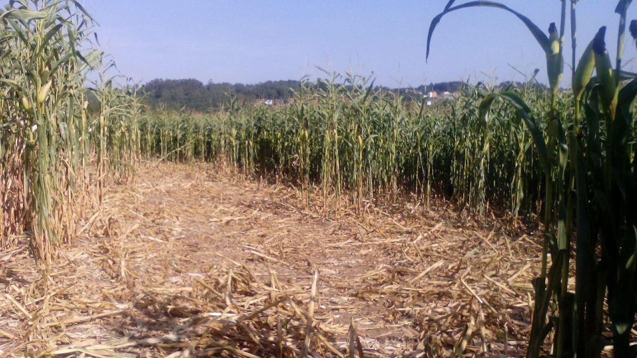 Imagen de archivo de un campo de maíz atacado por el jabalí