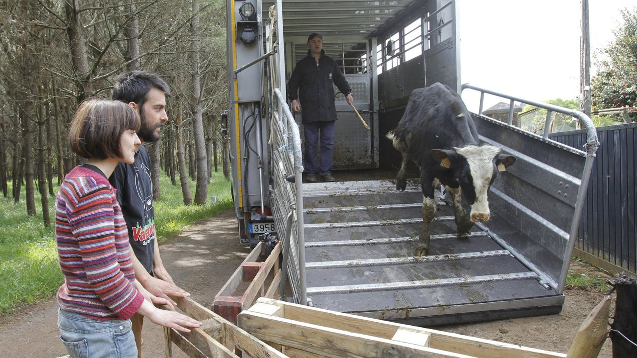 Imagen de archivo  de varias vacas rescatadas llegando a Vacaloura