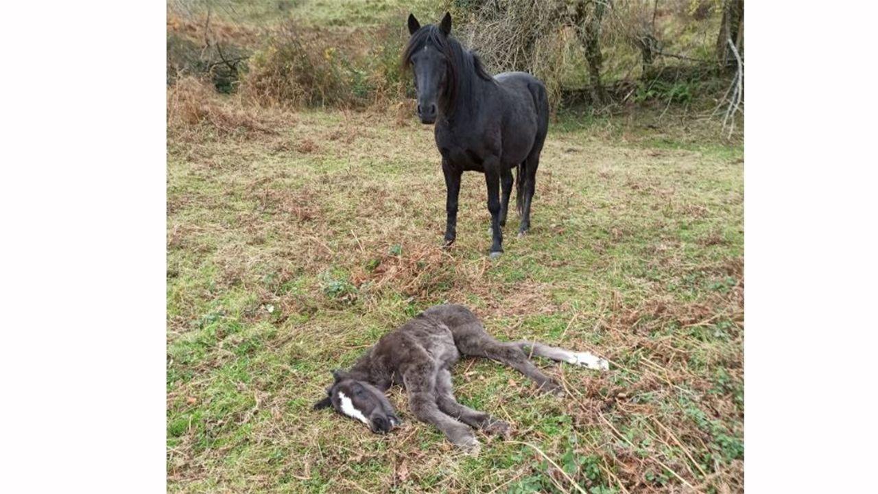 La yegua con su cria muerta por causas naturales