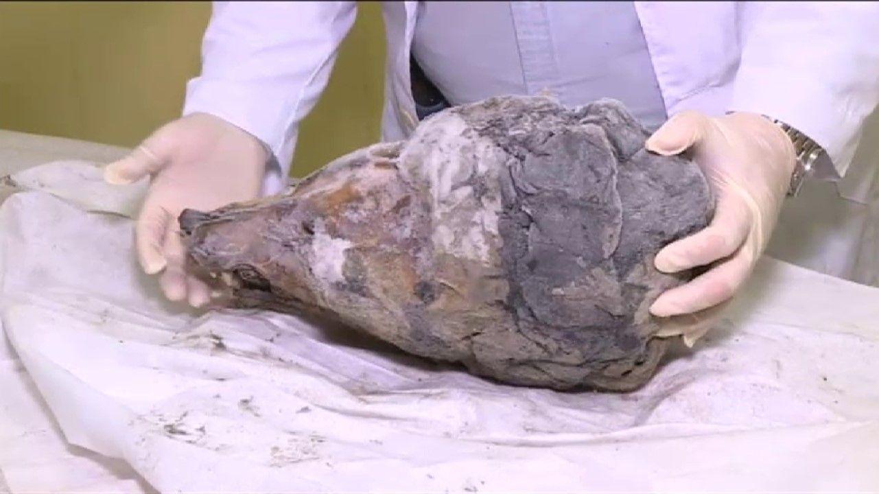 Aparece el cráneo de un lobo de 40.000 años bajo el hielo de Siberia.En la parte de abajo de la imagen, la progresión de una gran mancha solar desde el 18 a 28 de octubre del 2014. Arriba, la evolución de la gran mancha solar observada por Hevelius del 3 al 16 de mayo de 1644