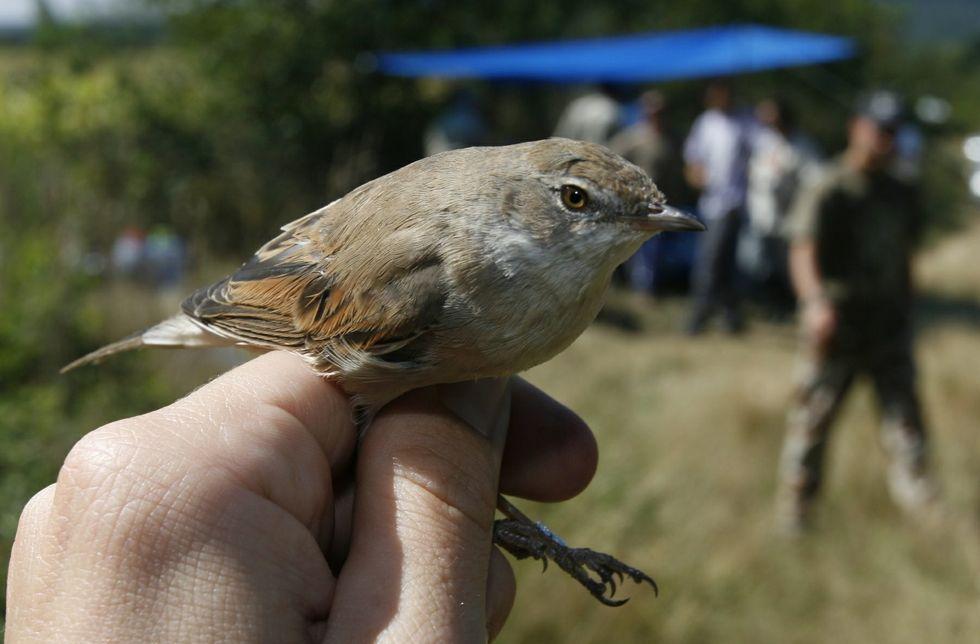 Papuxa común capturada no 2007 durante unhas xornadas de anelamento de aves en Bóveda.