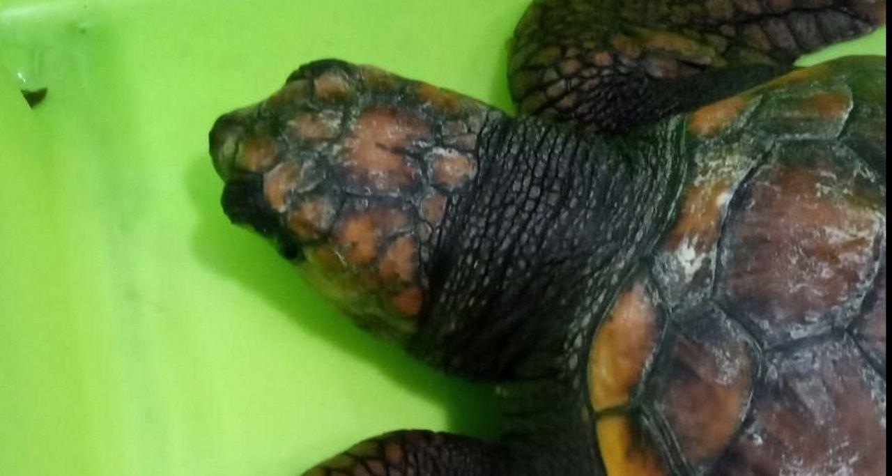 La tortuga de Bueu que defeca plásticos.Imagen del cetáceo desembarcado en agosto de 1966 en el Muro coruñés. Veintiocho años antes, una ballena de seis metros emergió en la ría y fue muerta a tiros ante el fracaso de los métodos empleados para cazarla.