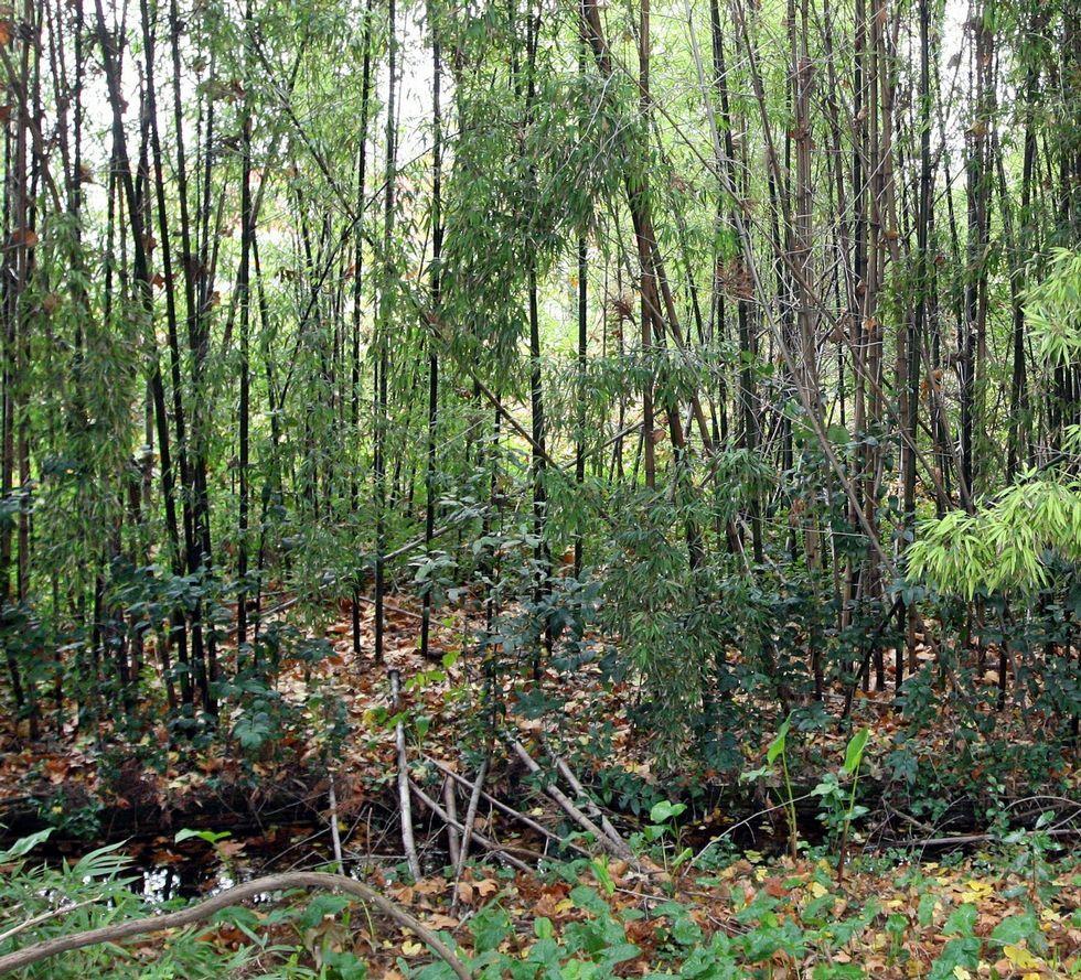 <span lang= es-es >Bambú</span>. La exótica planta asiática se está extendiendo en los cursos fluviales, cuya biodiversidad empobrece.
